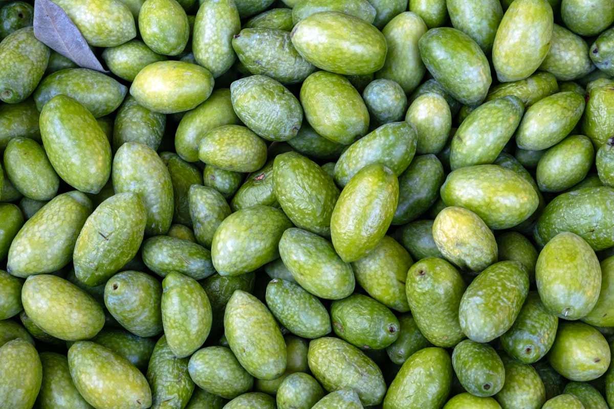 unripe olives are rich in oleocanthal